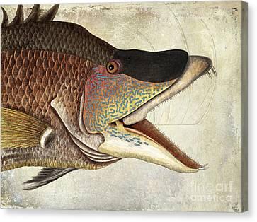 Hogfish Snapper Canvas Print