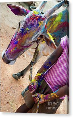 Holi Cow Canvas Print by Tim Gainey