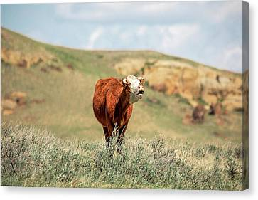 Hollerin' Hereford Canvas Print by Todd Klassy