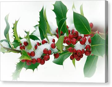 Canvas Print featuring the photograph Holly Berries On White by Sharon Talson