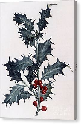 Holly Berry Still Life Canvas Print - Holly by Pierre Joseph Redoute