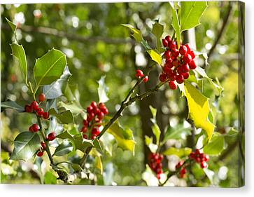 Holly With Berries Canvas Print by Chevy Fleet