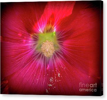 Hollyhock Bloom Canvas Print by Cheryl Baxter