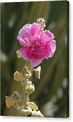 Hollyhock Canvas Print by Laurel Powell