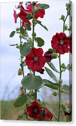 Hollyhocks Canvas Print by Theresa Campbell