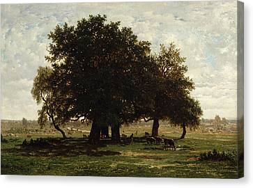 Holm Oaks Canvas Print
