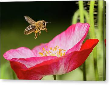 Honey Bee And  Poppy Flower Canvas Print by Mircea Costina Photography