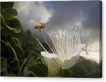 Honey Bee Apis Mellifera Approaching Canvas Print by Mark Moffett