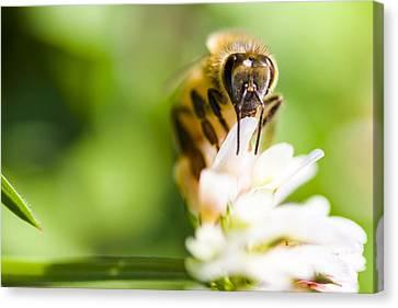 Honey Bee On Clover Flower Canvas Print