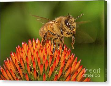 Beeswax Canvas Print - Honey Bee On Flower Two by Randy Steele
