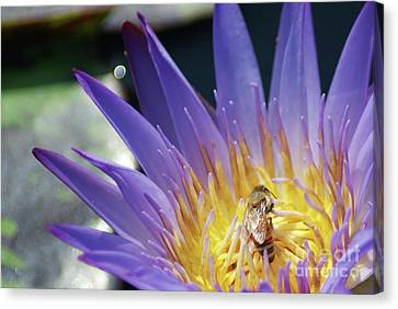 Honey Bee Resting On A Water Lily....   # Canvas Print by Rob Luzier