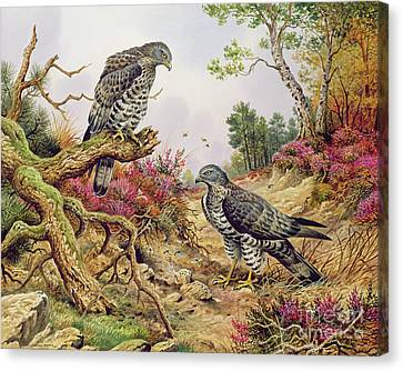 Buzzard Canvas Print - Honey Buzzards by Carl Donner