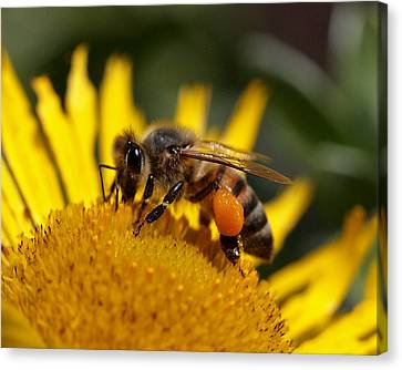 Canvas Print featuring the photograph Honeybee At Work by Rona Black