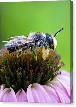 Honeybee In Coneflower Canvas Print by Alan Raasch