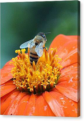 Honeybee On Orange Flower Canvas Print