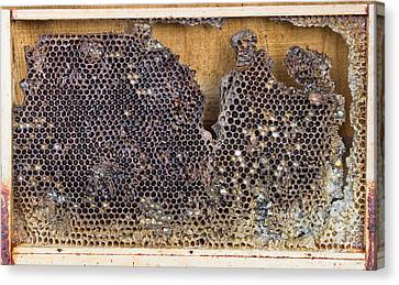 Beeswax Canvas Print - Honeycomb by Tom Gowanlock