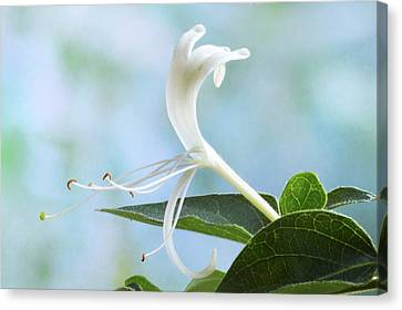 Canvas Print featuring the photograph Honeysuckle Portrait. by Terence Davis