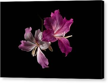 Hong Kong Orchid 4 Canvas Print