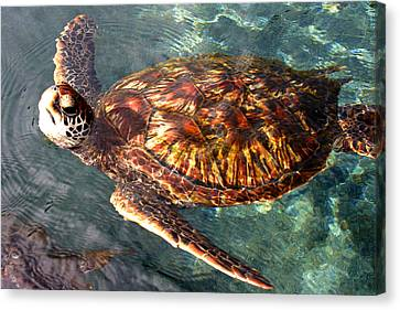 Honu Green Sea Turtle Maui Hawaii Canvas Print by Pierre Leclerc Photography