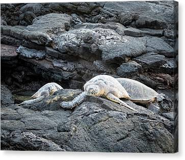Honu Or  Hawaiian Green Sea Turtles Canvas Print