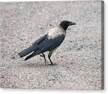 Canvas Print featuring the photograph Hooded Crow by Jouko Lehto