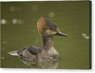 Hooded Merganser Canvas Print by Doug Herr