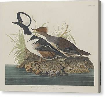 Hooded Merganser Canvas Print by Dreyer Wildlife Print Collections