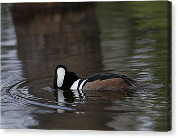 Hooded Merganser Preparing To Dive Canvas Print