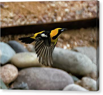 Canvas Print featuring the photograph Hooded Oriole H37 by Mark Myhaver