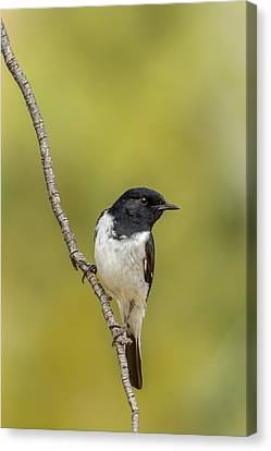 Hooded Robin Canvas Print by Racheal  Christian