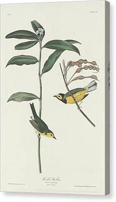 Hooded Warbler Canvas Print by Dreyer Wildlife Print Collections