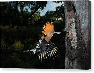 Hoopoe In Flight Canvas Print