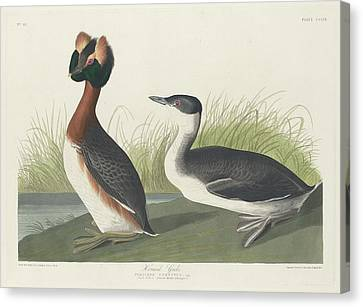 Horned Grebe Canvas Print by Rob Dreyer