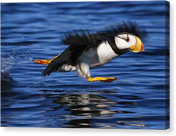 North American Wildlife Canvas Print - Horned Puffin  Fratercula Corniculata by Marion Owen