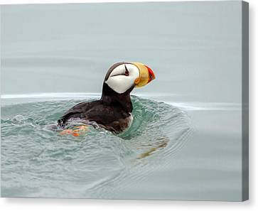 Canvas Print featuring the photograph Horned Puffin by Phil Stone