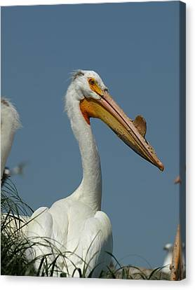 Horny Pelican Canvas Print by James Peterson