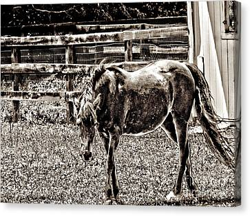 Horse In Black And White Canvas Print by Annie Zeno