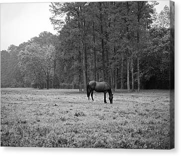 Horse In Pasture Canvas Print