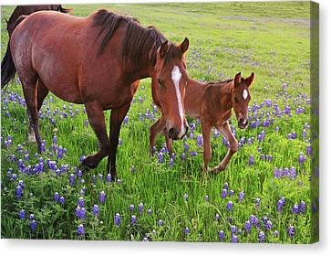Horse On Bluebonnet Trail Canvas Print by David Hensley