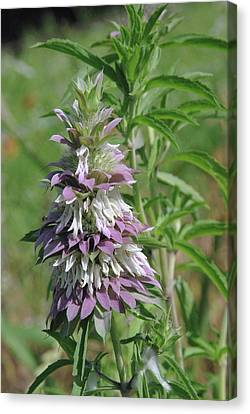 Horsemint Canvas Print by Robyn Stacey