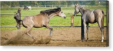 Break Fast Canvas Print - Horses - Break by Andy-Kim Moeller