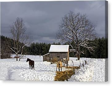 Horses In Snow Canvas Print