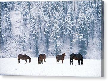 Horses In The Snow Canvas Print by Alan and Sandy Carey and Photo Researchers