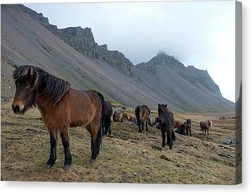 Canvas Print featuring the photograph Horses Near Vestrahorn Mountain, Iceland by Dubi Roman