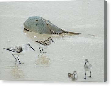 Canvas Print featuring the photograph Horseshoe Crab With Migrating Shorebirds by Richard Bryce and Family