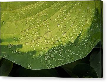 Canvas Print featuring the photograph Hosta Drops by Jean Noren