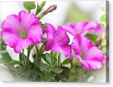 Hot Pink Petunias Canvas Print by Mother Nature