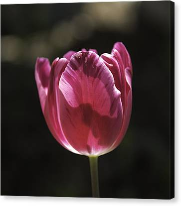 Hot Pink Tulip Squared 02 Canvas Print by Teresa Mucha
