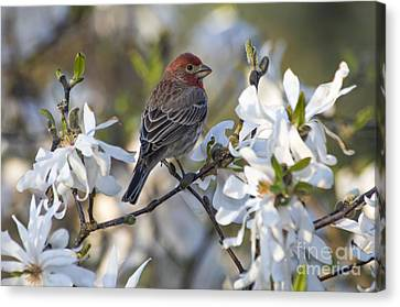 Canvas Print featuring the photograph House Finch - D009905 by Daniel Dempster