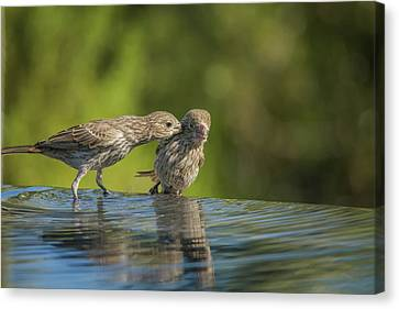House Finch Female Adult And Juvenile 3073 Canvas Print by Tam Ryan